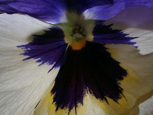 Pansy Violet Plant Close Up Depth Nature Blue