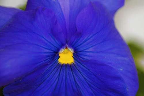 Pansy Flower Flowers Blue Plant Close Up