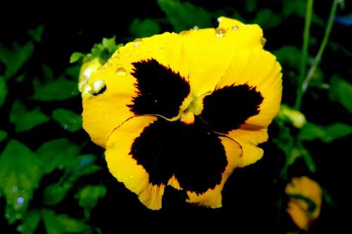 Pansy Flower Blossom Bloom Yellow Viola Colorful