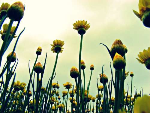 Paper Daisies Flowers Daisy Yellow Paper Daisies
