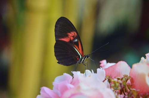 Papilio Rumanzovia Butterfly Animal Insect