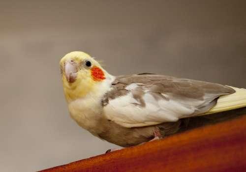 Parakeet Bird Colour Animal Wing Domestic Nature