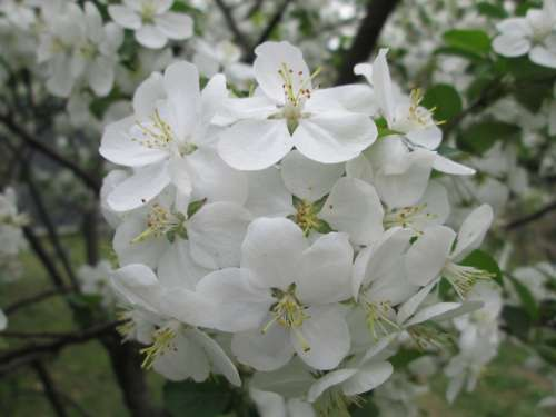 Park Cherry Blossom White Garden Plant