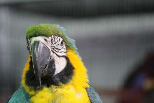 Parrot Yellow Macaw Bird Beak Pretty Tropical