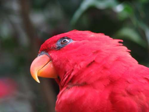 Parrot Bird Red Close-Up Wing Beak Tropical
