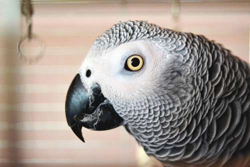 Parrot Eye Feather