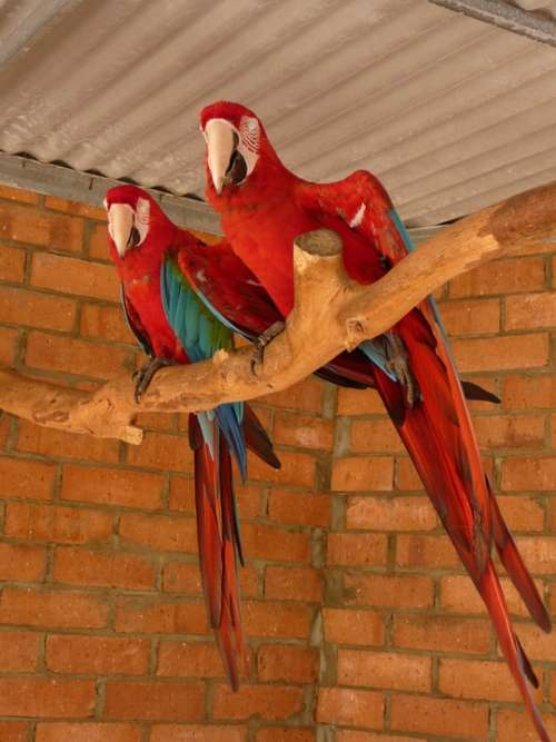 Parrots Tropical Birds Couple Wildlife Red Wings