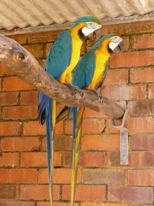 Parrots Tropical Birds Couple Wildlife Wings