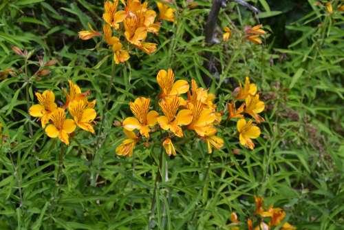 Patagonian Alstromeria Amancay Flowers