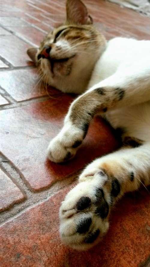 Paw Sleeping Animal Cat Nap Pet Domestic Lying