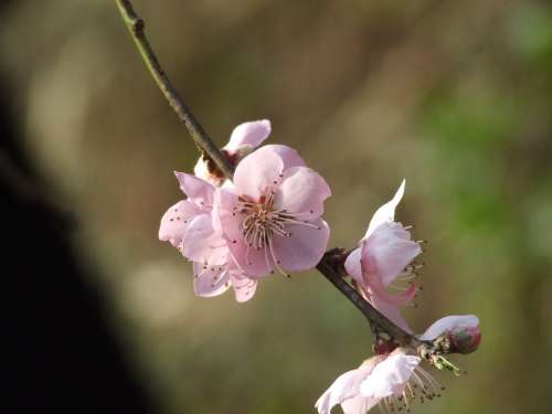 Peach Flower Blossom Spring Bloom Flowers Plant