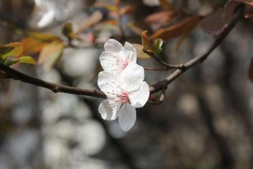 Peach Blossom Cherry Blossom Spring Branch White