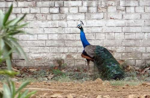 Peacock National Bird Plumage Ghaziabad Bird India