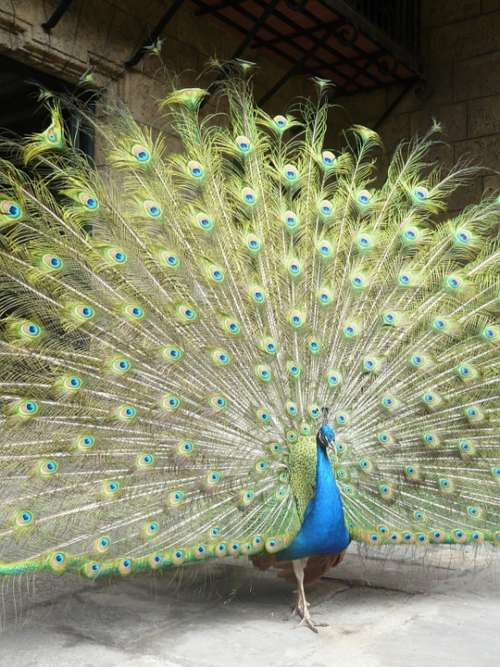 Peacock Bird Peacock Feathers