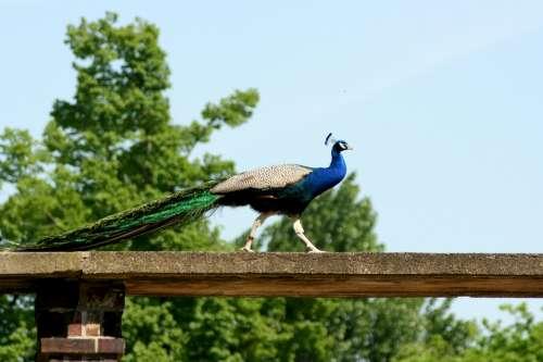 Peacock Bird Feather Zoo