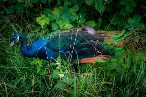 Peacock Beautiful Bird Blue Colorful Majestic