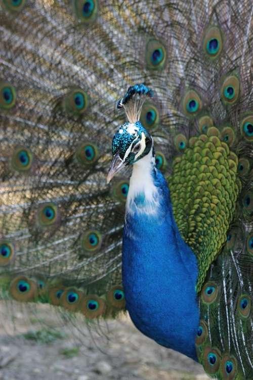 Peacock Bird Nature Animals Animal Wheel Feathers