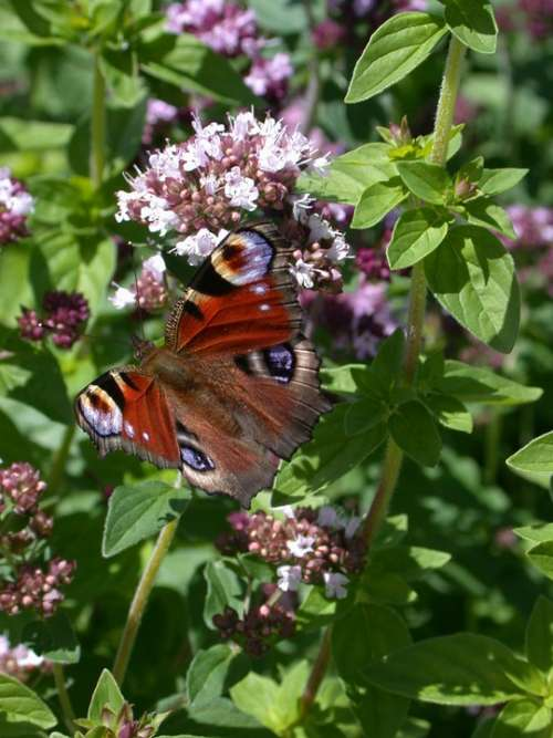 Peacock Butterfly Butterflies Butterfly Animal