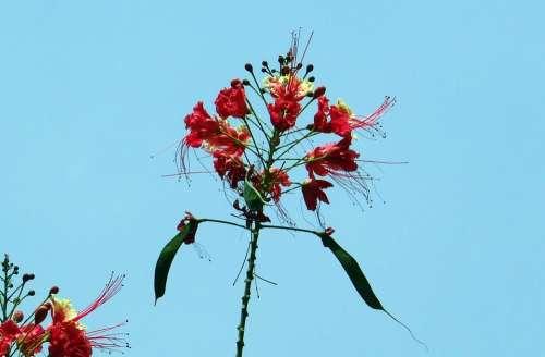 Peacock Flower Pride Of Barbados Dwarf Poinciana