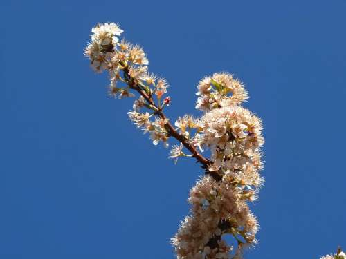 Pear Blossom Flowers Peral Sky Fruit Nature Field