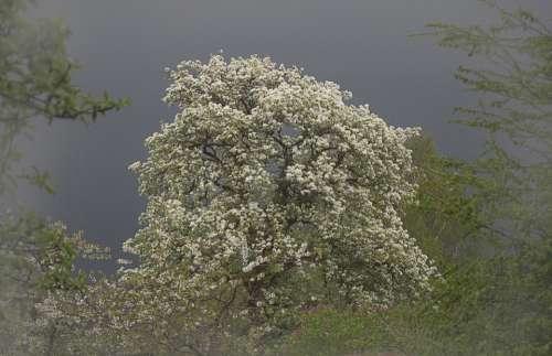 Pear Tree Blossom Bloom Tree