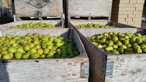 Pears Bartlett Pear Bartlett Healthy Fruit Food