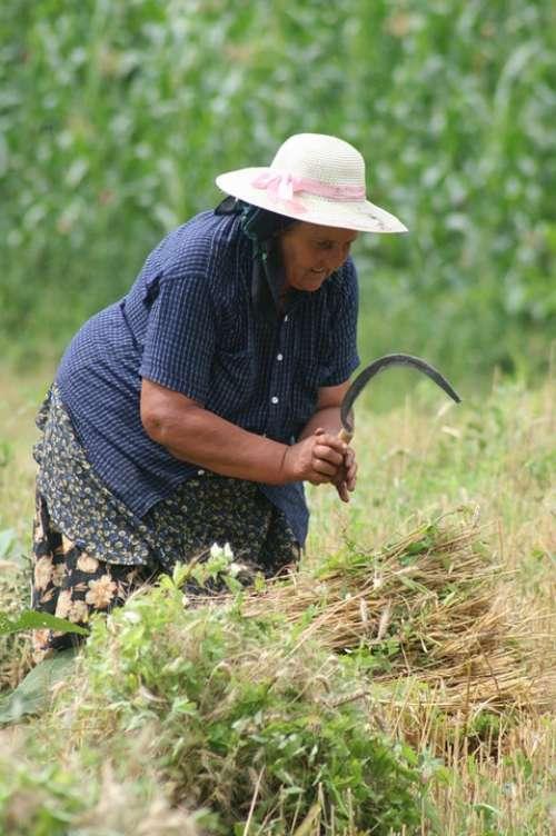 Peasant Romania Work Fields Aucille Wheat