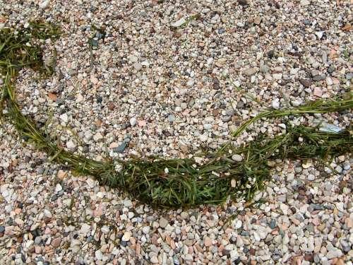 Pebble Beach Stones Tang Sea Grass