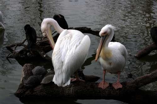 Pelican White Water Animal Bird Pouch Pelicans