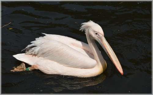 Pelican Pink Young Nature Bird Water Bird Animal