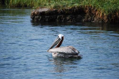 Pelican Bird Water Bird Nature Waterfowl Pelicans