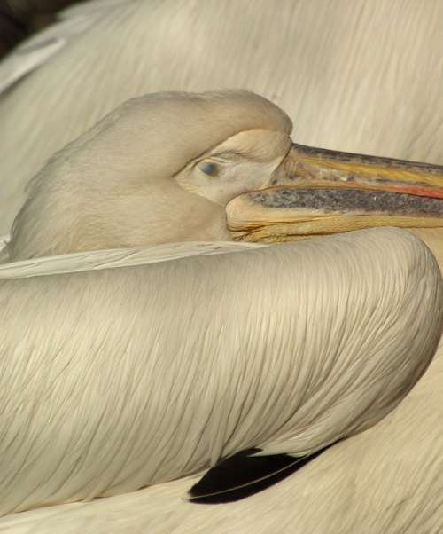 Pelican Head Beak Eye Bird