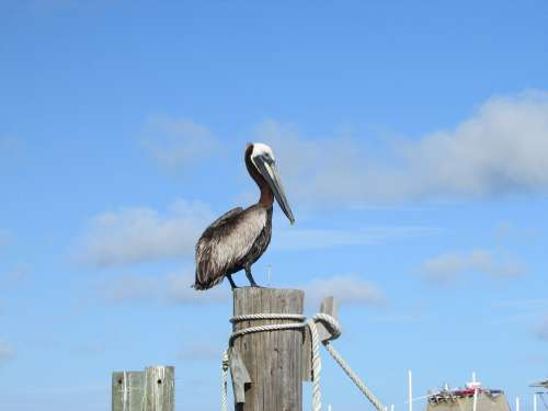 Pelican Gulf Coast Alabama Gulf Gulf Of Mexico