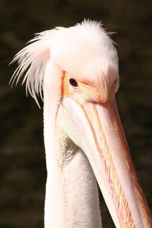 Pelican Pink Beak Animal