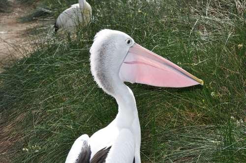 Pelican Bird Wildlife Beak Avian Nature
