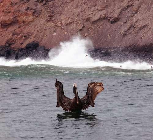 Pelican Galapagos Islands Ecuador Bird Ocean