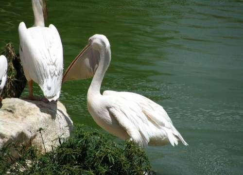 Pelican Water Bird Pelecanidae Beak
