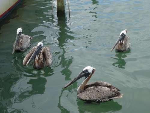 Pelicans Mar Ocean Water Bird