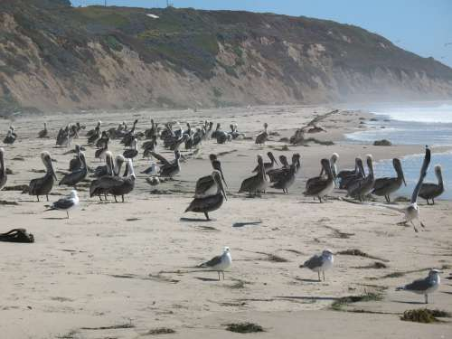 Pelicans Seagulls Sea Ocean Coast California Usa