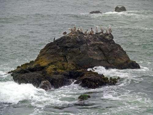 Pelicans Rock Water Pacific Ocean Bird Shoreline