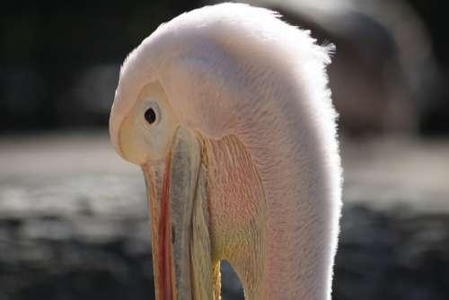 Pelikan Bird Head Animal Pink Plumage Feather
