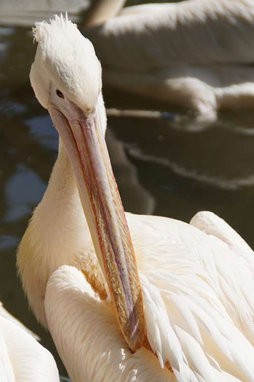 Pelikan Bill Portrait Head Animal Portrait