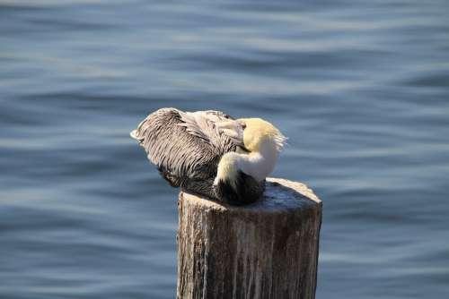 Pelikan Sea Water Bird Florida Pier Ocean