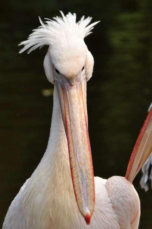 Pelikan Bird Sea Birds Animal