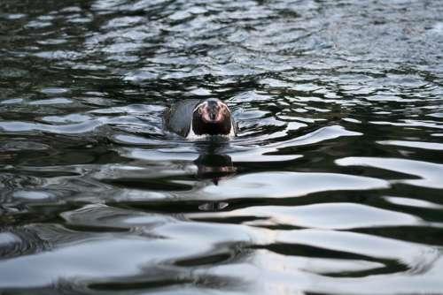 Penguin Waterfowl Wild Nature Animal