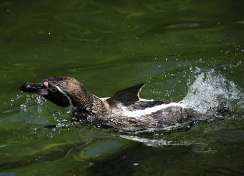 Penguin Humboldt Penguin Bird Water Bird Swim