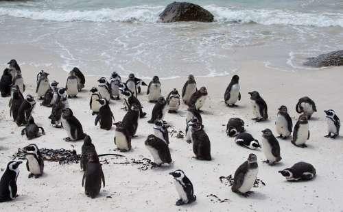 Penguin Banded Penguin Spheniscus Demersus
