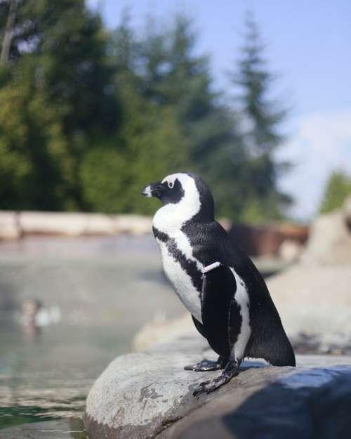 Penguin Animal Bird Zoo Black White