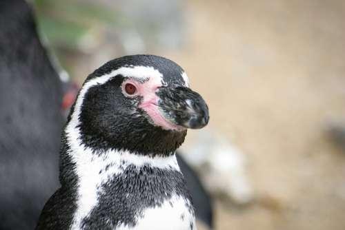 Penguin Animal Black White Bird Zoo Water Bird