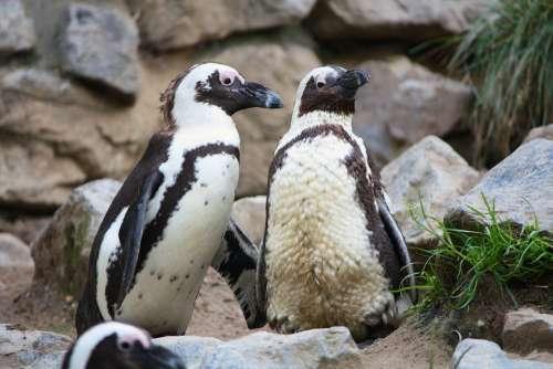 Penguins Zoo Birds Animals Waddle Black White